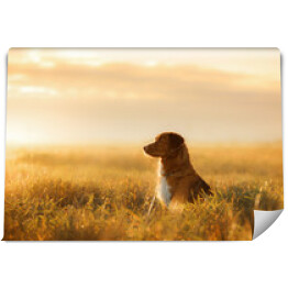 Pies Nova Scotia Duck Tolling Retriever