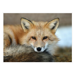 Portret Red fox