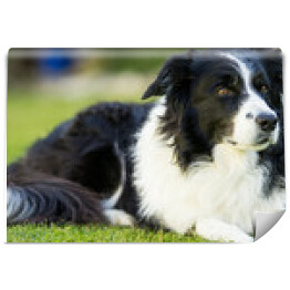 Border collie na trawniku