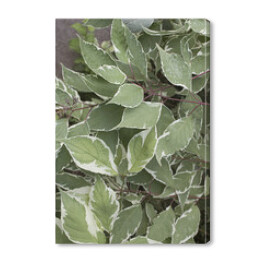 Silver Dogwood leaves