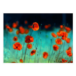 Blooming red poppies in a field in spring in nature on a turquoise background with soft focus, macro. Photo with authoring processing and toning. Bright colorful artistic image, floral background.