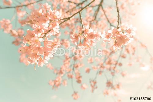 Natury tło piękne wiśni menchii kwiat w wiośnie - rocznika koloru pastelowy filtr