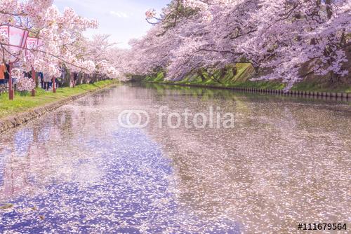 hirosaki park wiśniowe kwiaty wiśni w Hirosaki Park