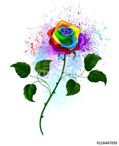 tęcza róża
