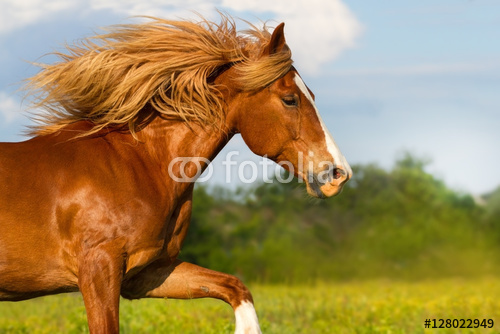 Czerwony koń z długim grzywa portreta biegającym plenerowym w letnim dniu