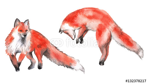 Czerwony lis. Pojedynczo na białym tle. Ilustracja akwarela.
