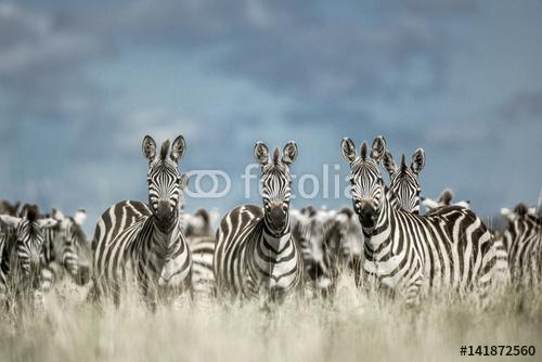 Stado zebra w dzikiej sawannie, Serengeti, Afryka
