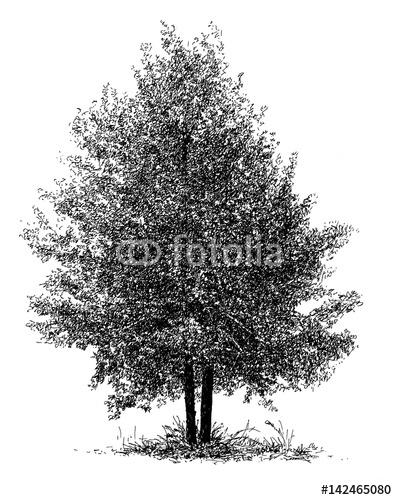 Drzewo izolowane