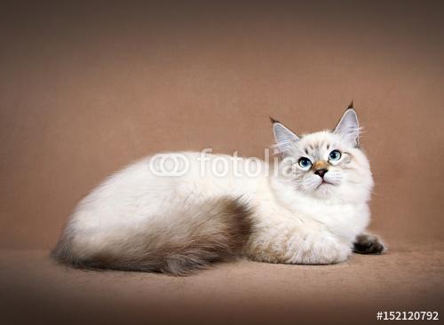 Siberian colorpoint kotek junior
