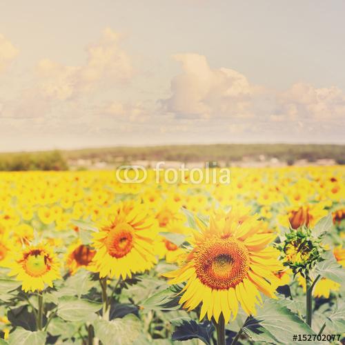 Pole kolorowi świezi narastający słoneczniki przy jaskrawym letnim dniem, retro stonowany