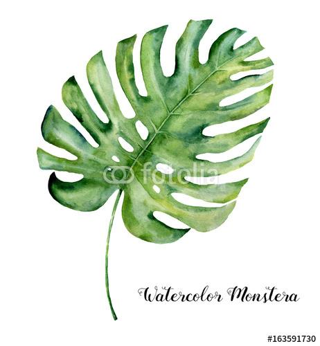 Akwarela Tropikalny Liść Monstera Ręka Malująca Wiecznozielona Zwrotnik Roślina Odizolowywająca Na Białym Tle Ilustracja Botaniczna Do