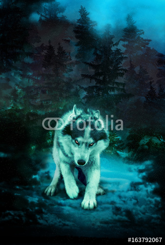 Groźny Wilk Przygotowuje Się Do Ataku