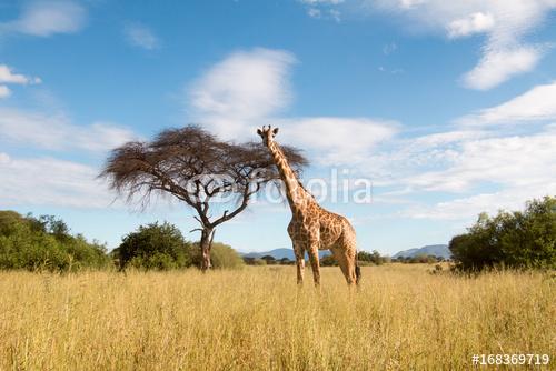 Wielki żyrafy pasanie w Ruaha parku narodowym
