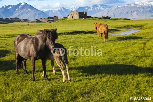 islandzkie dzikie konie