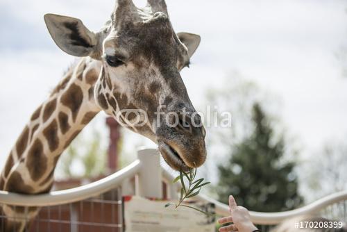 Żyrafa je roślinę