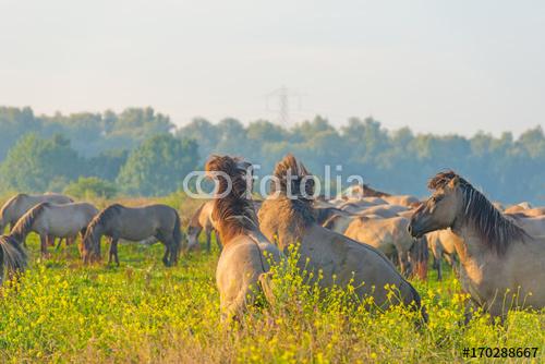 Stado konie w polu przy wschodem słońca w lecie