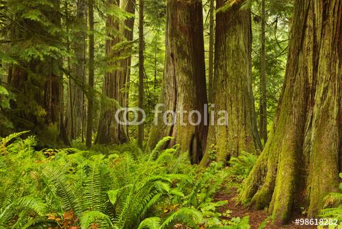 Luksusowy tropikalny las deszczowy w Katedralnym gaju, Vancouver wyspa, Kanada